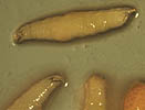 Fruit fly larvae