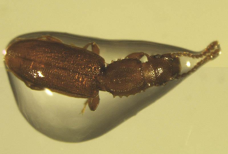 saw toothed grain beetle larvae Wood Chuck Cartoon Animated Groundhog Clip Art