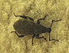 Black Wine Weevil