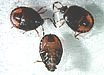 Burrowing bug nymphs