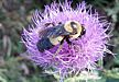Southern Plains Bumblebee