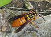 Southern Yellowjacket Wasp