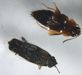 Rove beetle and Seed beetle
