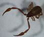 House pseudoscorpion