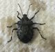 Brochymena stink bug