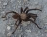 Brown Texas Tarantula