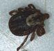 Recent Samples Diagnostician Extension Entomology