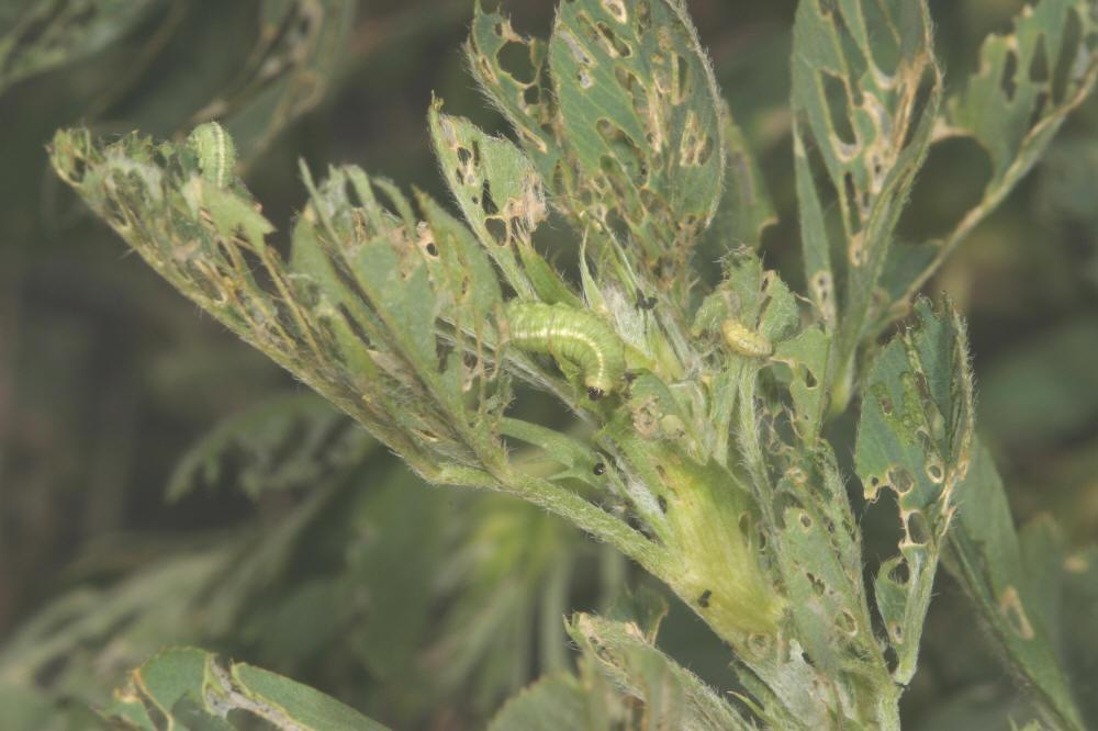 Alfalfa Pests>Alfalfa Weevil Damage