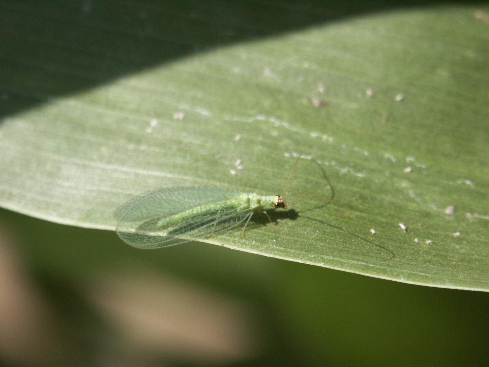 Beneficials>Green Lacewing