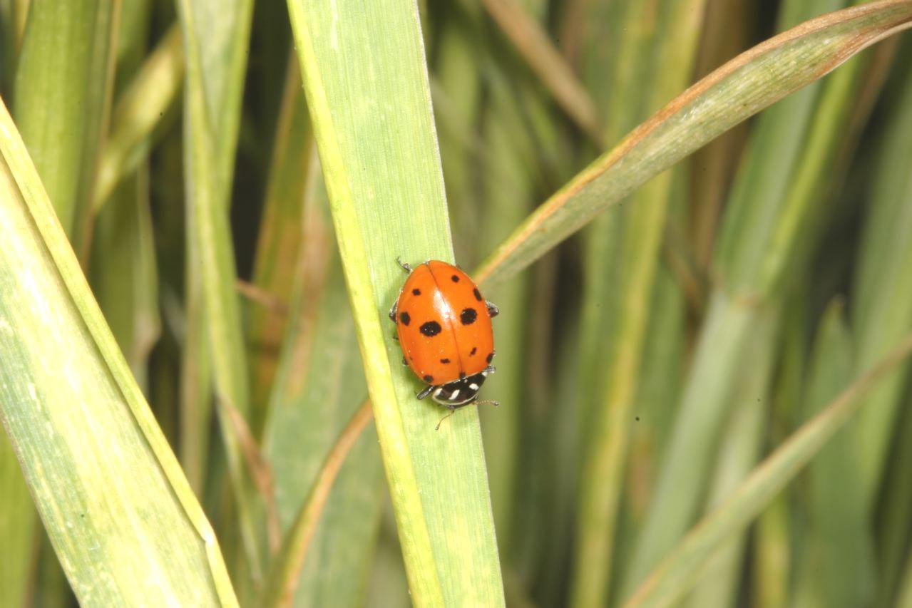 Beneficials>Convergent Lady Beetle