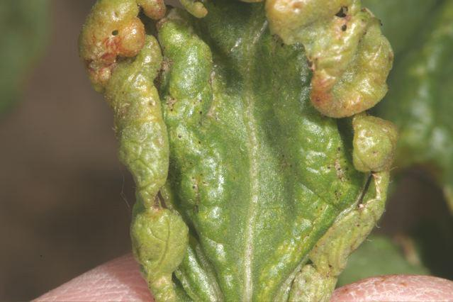 Cotton Insects>Thrips Damage 2