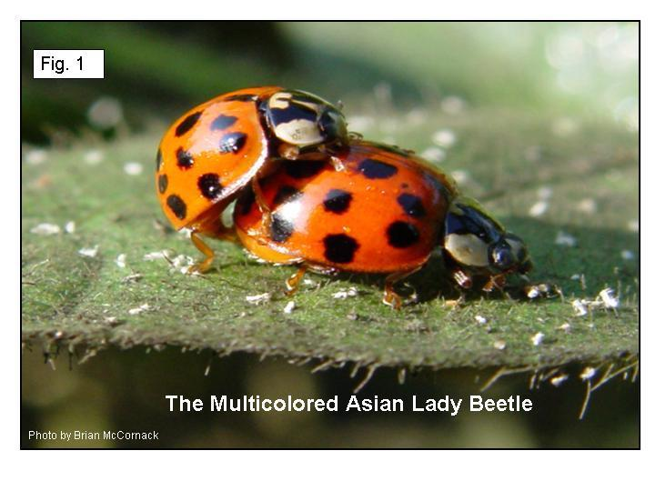 Obsessed asian ladybeetle vs ladybug that's hot!