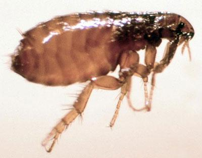Can Cat Fleas Live In Ct Bedding