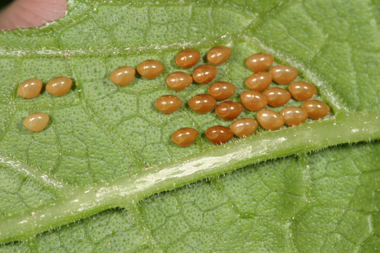 Insect photo gallery extension entomology kansas - Identifying insect eggs in the garden ...
