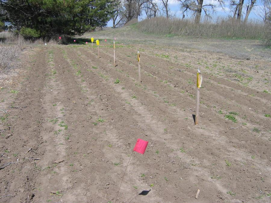 Potato Psyllid Survey>Traps in Untreated control plot on April 6, 2010