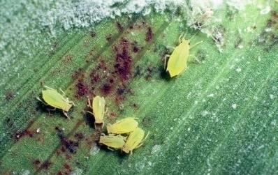 Greenbug | Sorghum | Crop Pests | Insect Information