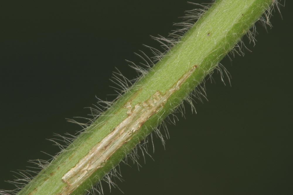 Life Cycle | SBSB | Soybeans | Crop Pests | Insect Information ...