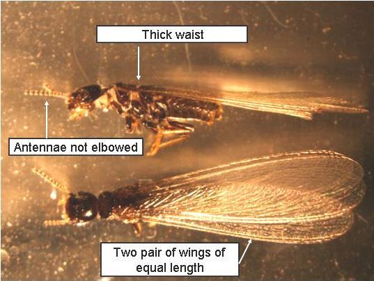 Winged Ants vs Termites | Lab News | Diagnostician ... Queen Ant Laying Eggs