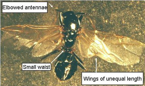 Structural Pests>Winged_Ant_2.JPG
