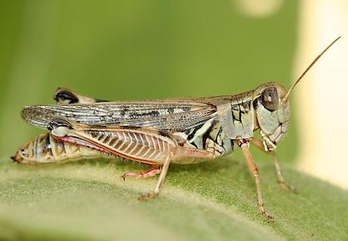 Grasshoppers Sunflowers Crop Pests Insect